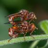 Thick-headed Flies courting, Sicus ferrugineus 3978