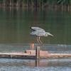 Grey Heron, Ardea cinerea 3390