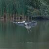 Grey Heron, Ardea cinerea 3500