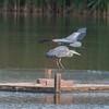 Grey Heron, Ardea cinerea 3391