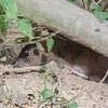 Brown Rat, Rattus norvegicus 3455