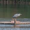 Grey Heron, Ardea cinerea 3386