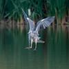 Grey Heron, Ardea cinerea 3502