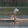 Grey Heron, Ardea cinerea 3381