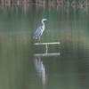 Grey Heron, Ardea cinerea 3534