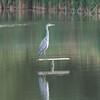 Grey Heron, Ardea cinerea 3526