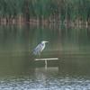 Grey Heron, Ardea cinerea 3522