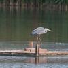 Grey Heron, Ardea cinerea 3392