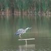 Grey Heron, Ardea cinerea 3518