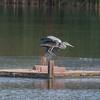 Grey Heron, Ardea cinerea 3388