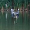 Grey Heron, Ardea cinerea 3501