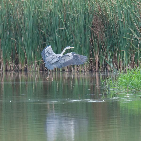 Grey Heron, Ardea cinerea 3538