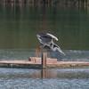 Grey Heron, Ardea cinerea 3387