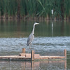 Grey Heron, Ardea cinerea 3376