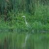 Grey Heron, Ardea cinerea 3483
