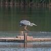 Grey Heron, Ardea cinerea 3389