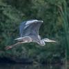 Grey Heron, Ardea cinerea 3505