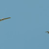 Kestrel, Falco tinnunculus and model airplane, manflight 6350