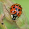 Harlequin Ladybird, Harmonia axyridis 6369
