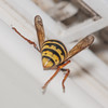 Median Wasp worker, Dolichovespula media 6209