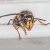 Median Wasp worker, Dolichovespula media 6212