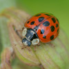 Harlequin Ladybird, Harmonia axyridis 6371