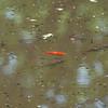 Common Frog tadpoles, Rana temporaria and Goldfish, Carassius auratus auratus 5470