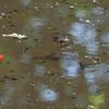 Common Frog tadpoles, Rana temporaria and Goldfish, Carassius auratus auratus 5473