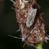 Bright Bell, Eucosma hohenwartiana 3415