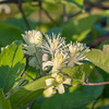 Traveller's-joy, Clematis vitalba, whiteflora 6728