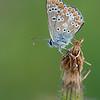 Brown Argus, Aricia agestis 4938