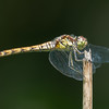 Common Darter, female, Sympetrum striolatum 7224