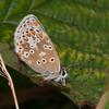 Common Blue, Polyommatus icarus 6872