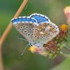 Adonis Blue, Lysandra bellargus 6888
