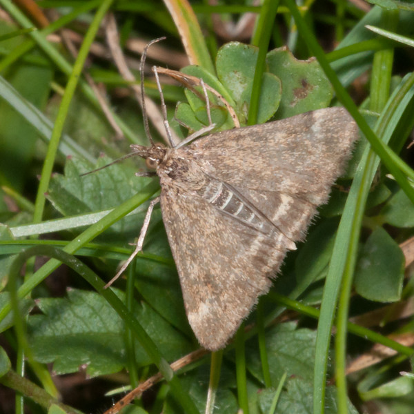Straw-barred Pearl, Pyrausta despicata 6913