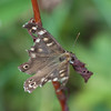 Speckled Wood, Pararge aegeria 6945