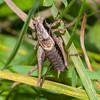 Roesel's Bush-cricket, Metrioptera roeselii 6940