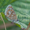 Common Blue, Polyommatus icarus 6868
