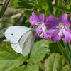 Small White, Pieris rapae 7005
