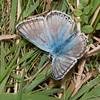 Chalkhill Blue, Lysandra coridon 6884