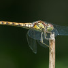 Common Darter, female, Sympetrum striolatum 7227