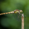 Common Darter, female, Sympetrum striolatum 7216