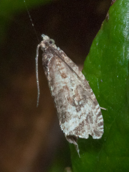 moth noid 6926