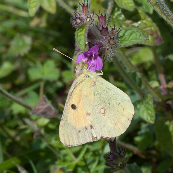 Clouded Yellow, Colias croceus 6900