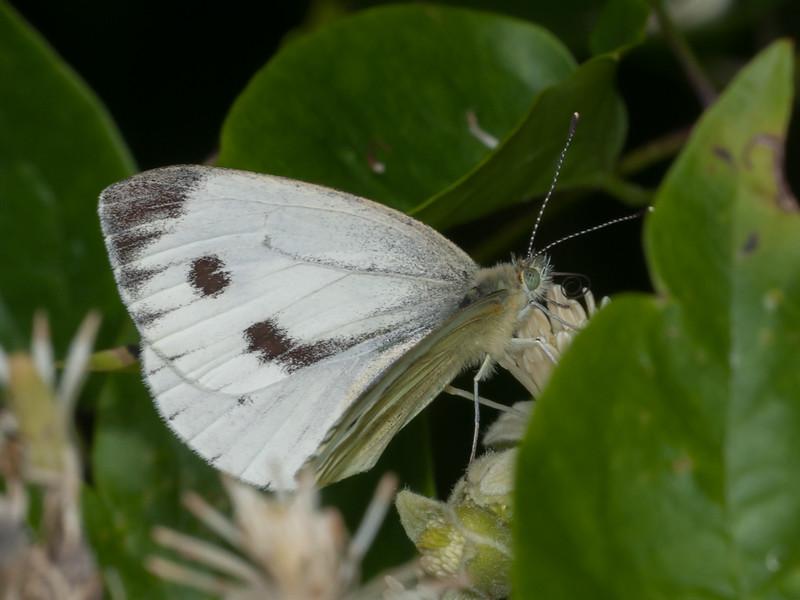 Green-veined White, Pieris napi 4543