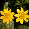 Lesser Celandine, Ranunculus ficaria 3875