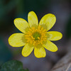 Lesser Celandine, Ranunculus ficaria 3878