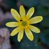 Lesser Celandine, Ranunculus ficaria 3880