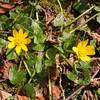 Lesser Celandine, Ranunculus ficaria 5518