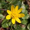 Lesser Celandine, Ranunculus ficaria 5519